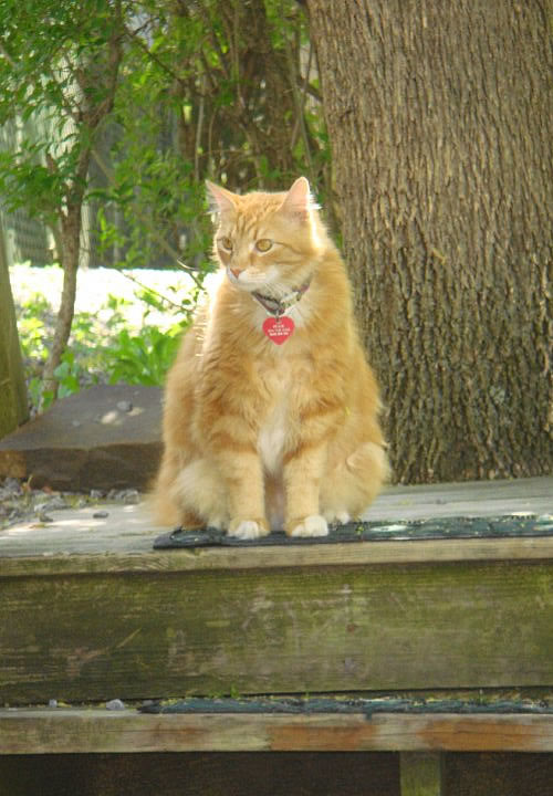 Picture of a orange cat.